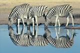 Burchells Zebra (Equus Burchelli) Drinking at Waterhole  Etosha  Namibia