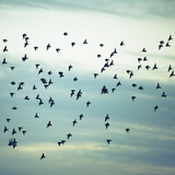 A Flock of Starlings Flying  Darting and Wheeling across a Cloudy Sky in Seattle