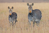 Plains Zebra (Equus Quagga) with Foal in Grasslands  Mountain Zebra National Park  Eastern Cape Pro