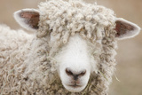 Canada, British Columbia, Fort Steele, Close-Up of a Sheep Papier Photo par Don Paulson Photography