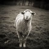 Sheep Chewing Cud