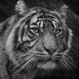 Sumatran Tiger Mono Portrait Papier Photo par John Dickson