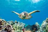 Sea Turtle Maui Papier Photo par M.M. Sweet