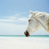 White Horse on Beach  Close-Up