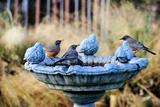 Robins on Birdbath