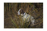Dog in Grasses (German Shorthaired Pointer  Oakland  CA)