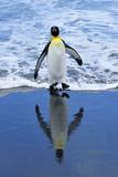 King Penguin on Beach Papier Photo par TCYuen