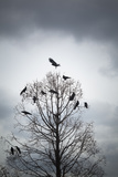 A Tree in Which Many Crows Have Rest