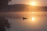 Loon  Cache Lake  Algonquin Provincial Park  Ontario  Canada