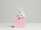 White Bunny Rabbit Wearing Tiara Sitting in Pink Box, Studio Shot Papier Photo par Roger Wright
