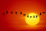 GEESE SILHOUETTED IN FLIGHT ACROSS SUN