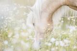 Beautiful Icelandic Horse Grazing among White Flow Papier Photo par Nina Bergstrand