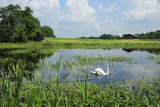 Male Mute Swan on Marshland Habitat