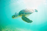 Sea Turtle Baby