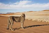 Cheetah in Desert Environment