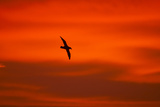 Southern Giant Petrel in Flight at Sunset