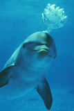 Bottlenose Dolphin Blows Bubbles from Blow Hole