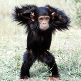 Chimpanzee Young  with Arms on Head