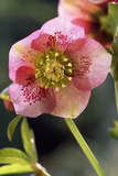 Hellebore Christmas Rose  Blossom  Niger Sp
