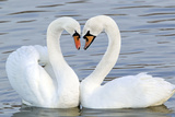 Mute Swan Courtship Display