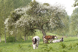 Cattle  Normandy Cows under Tree in Blossom