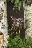 Common Kestrel Flying Between Silver Birch Trees