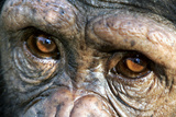 Chimpanzee  Close-Up of Eyes