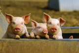 Pigs Piglets X Three Peering over Wall