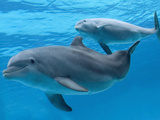 Bottlenose Dolphin Female and Her Calf