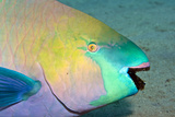 Parrotfish with Algae-Filled Teeth
