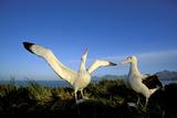 Wandering Albatross Courtship Display