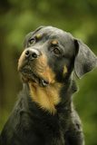 Rottweiler Dog with Head Tilted