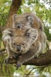 Koala with Young on Back