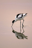 Pied Avocet Feeding at Twighlight on Sea Estuary