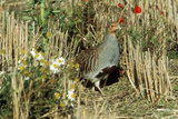 Grey Partridge Male in Stubble with Poppies and Daisies