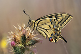 European Swallowtail Butterfly Resting on Thistle