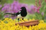Magpie Perched on Plant Pot in Garden