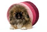 Pekingese Puppy in Studio in Pink Raffia Pot