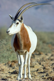 Scimitar-Horned Oryx
