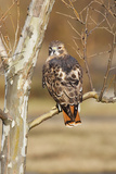 Red-Tailed Hawk Adult