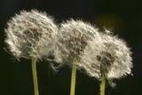 "Dandelion Seed-Heads (""Clocks')"