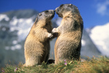 Alpine Marmots X2 Facing Each Other