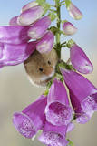Harvest Mouse on Foxglove