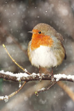 Robin on Snow Covered Branch with Falling Snow