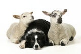 Dog and Lamb  Border Collie Sitting Between Two Cross