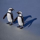 African Black-Footed Jackass Penguin Holding Hands