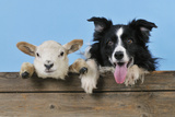 Dog and Lamb  Border Collie and Cross Breed Lamb