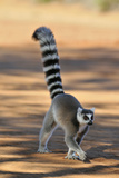 Ring-Tailed Lemur Walking with Tail Up
