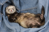 Ferret Sable Colouring Lying on Back