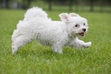 Maltese Puppy Running in Garden